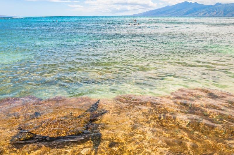 Зеленая морская черепаха в океане - Мауи, Гаваи стоковая фотография rf