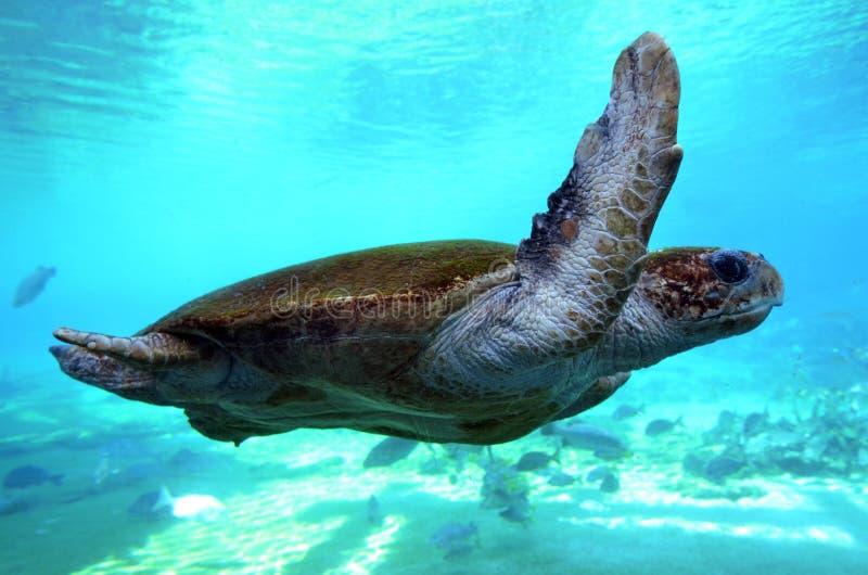 Зеленая морская черепаха Квинсленд Австралия стоковые фото