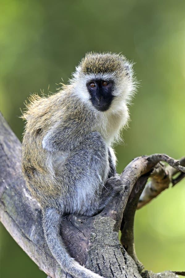 Зеленая обезьяна стоковые изображения rf