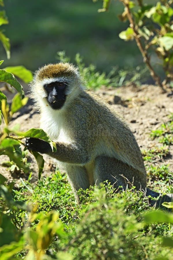 Зеленая обезьяна стоковое изображение