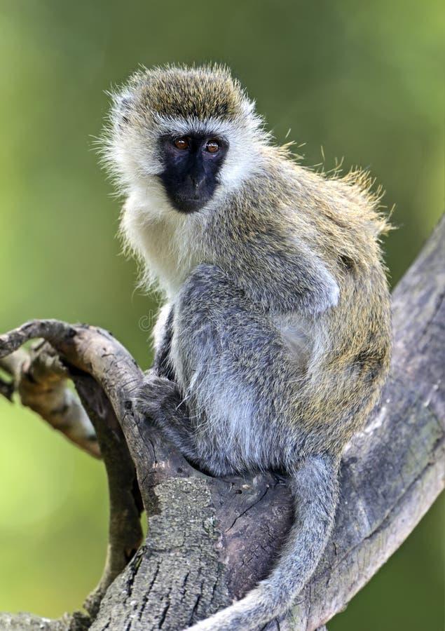 Зеленая обезьяна стоковые фотографии rf