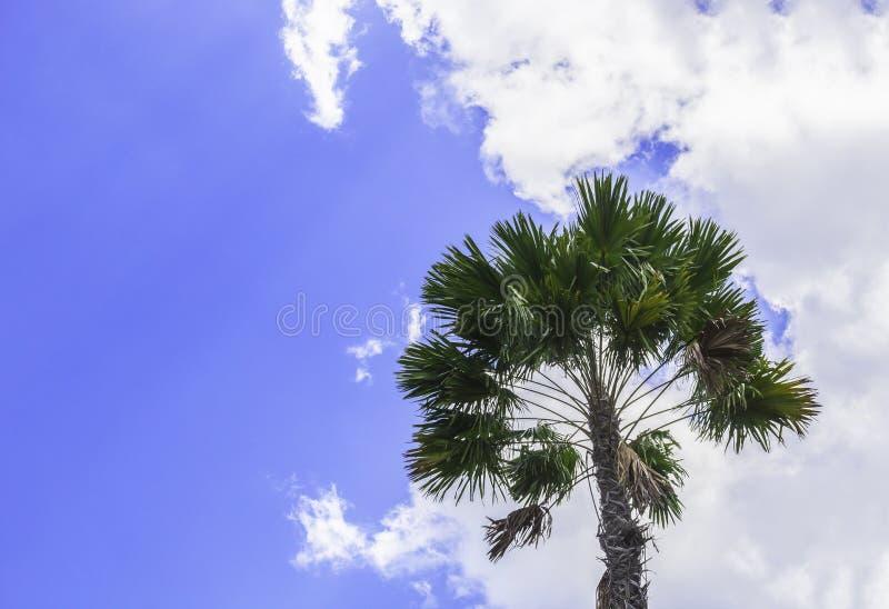 Зеленая пальма на голубом небе стоковое изображение rf