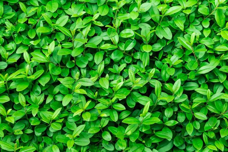 Зеленая предпосылка листвы, текстура лист, куст, яркие живые цвета, безшовный шаблон фона, лето, весна стоковые фотографии rf