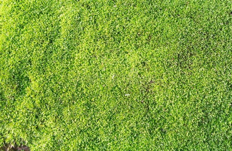 Зеленая предпосылка текстуры мха стоковое изображение