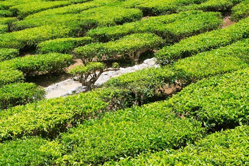 Зеленая плантация чая гористой местности в Малайзии стоковые фото
