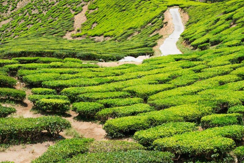 Зеленая плантация чая гористой местности в Малайзии стоковые фотографии rf