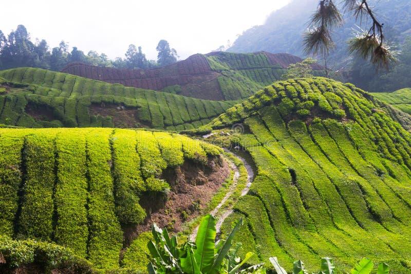 Зеленая плантация чая гористой местности в Малайзии стоковое фото