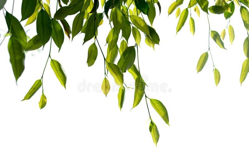 Зеленая плача смоква, изолят ветви дерева фикуса на белой предпосылке стоковое фото rf