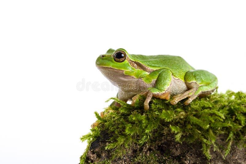 Зеленая древесная лягушка при часть moos изолированная на белизне стоковые фото