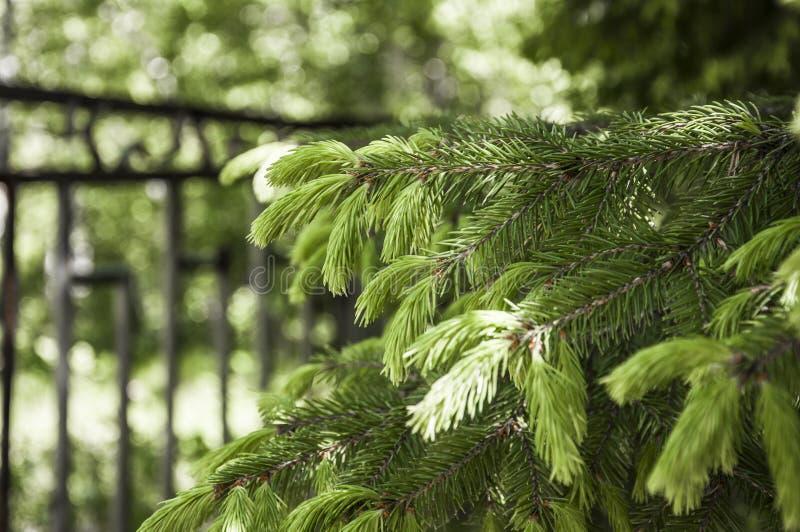 Зеленая сочная елевая ветвь стоковая фотография rf