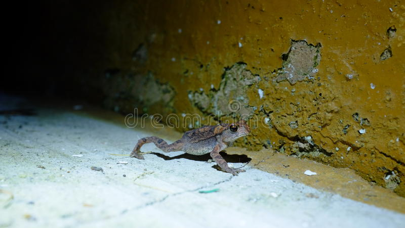 Зеленая съестная лягушка в ноче стоковая фотография rf