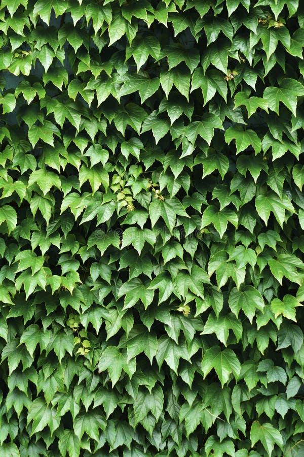 Зеленая текстура предпосылки плюща стоковые изображения