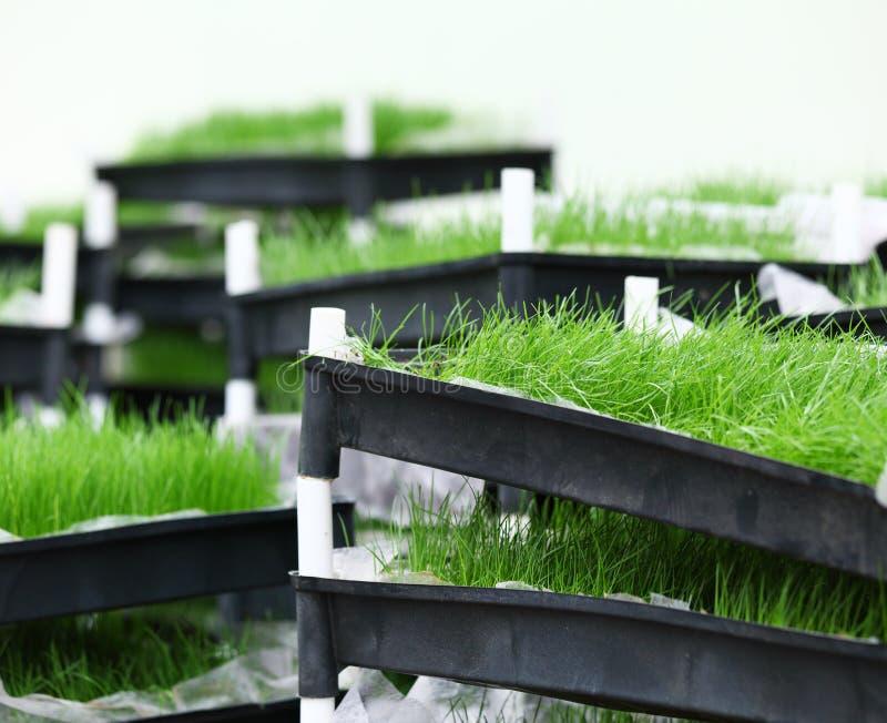 Download Зеленая трава в подносе стоковое фото. изображение насчитывающей closeup - 33737432