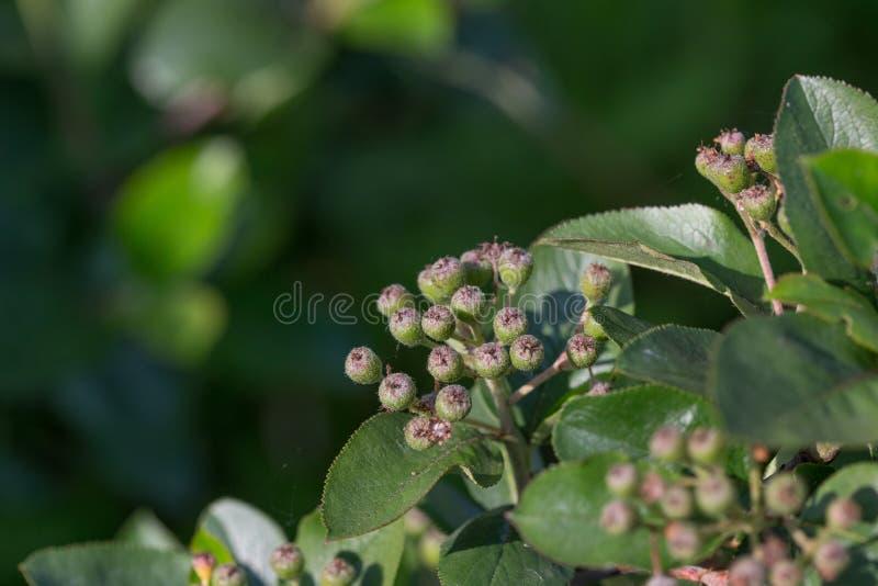 Зеленая хворостина irga с зрелыми ягодами стоковые изображения rf