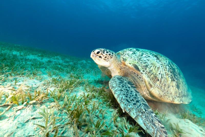 Зеленая черепаха в Красном Море стоковое фото rf