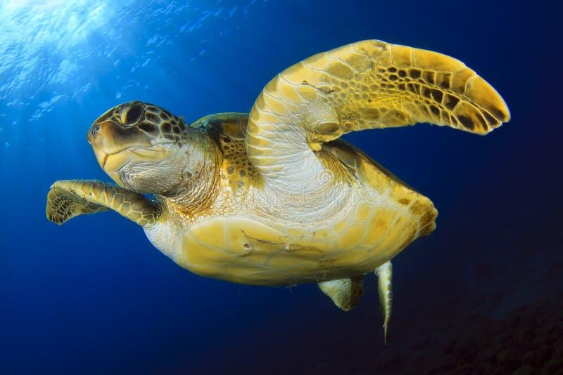 Зеленая черепаха в сини стоковые фотографии rf