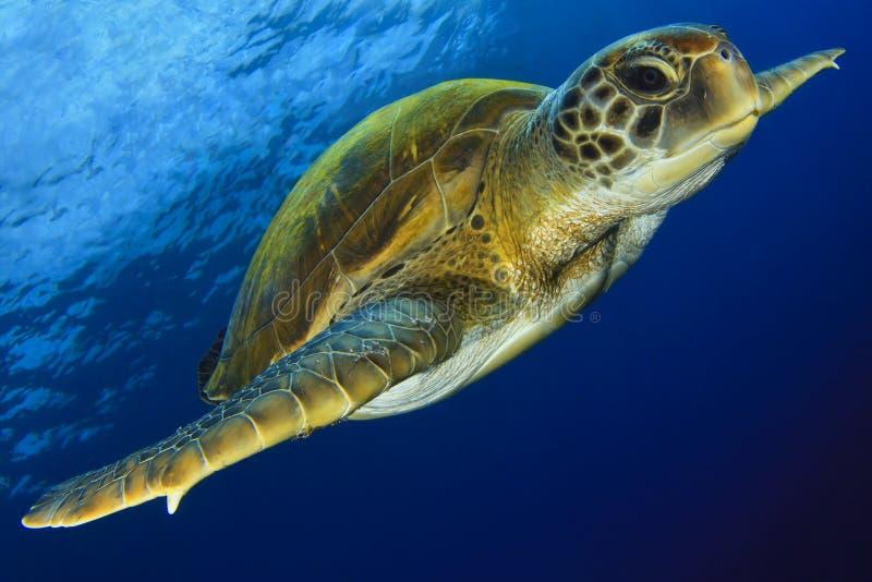 Зеленая черепаха в сини стоковое изображение