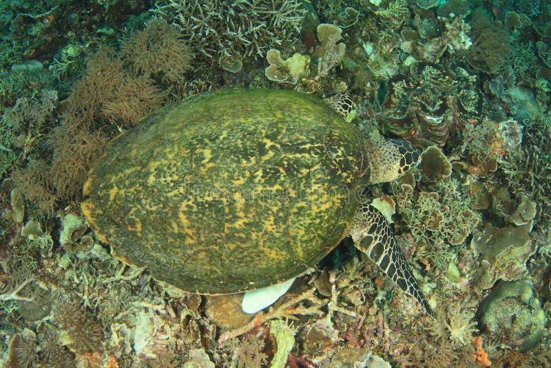 Зеленая черепаха подавая на кораллах стоковые изображения
