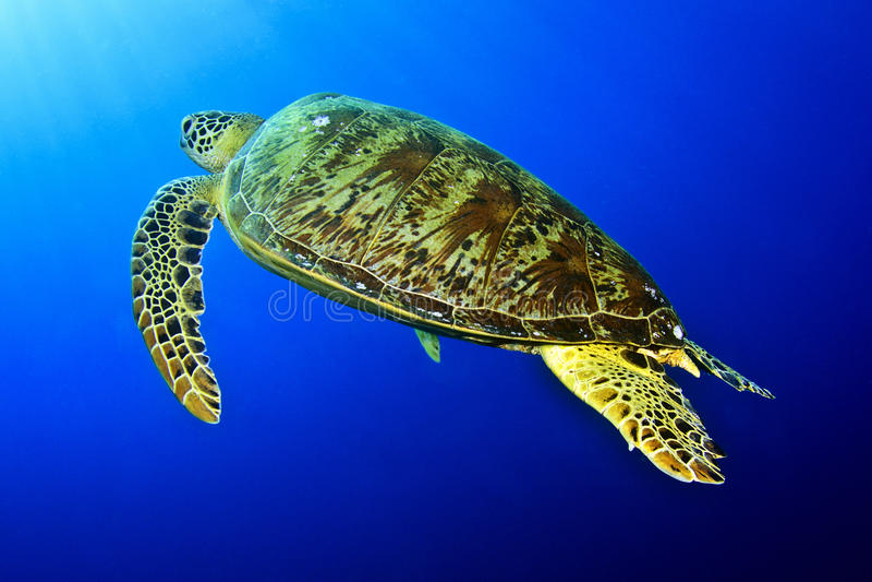 Зеленая черепаха под солнцем стоковые фото