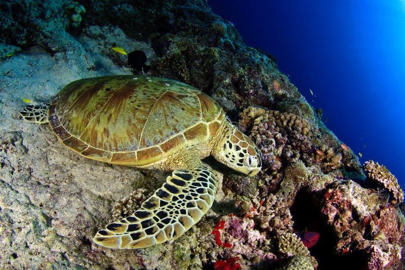 Зеленая черепаха под солнцем стоковое фото