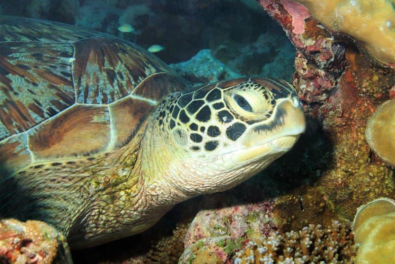 Зеленая черепаха стоковое изображение rf