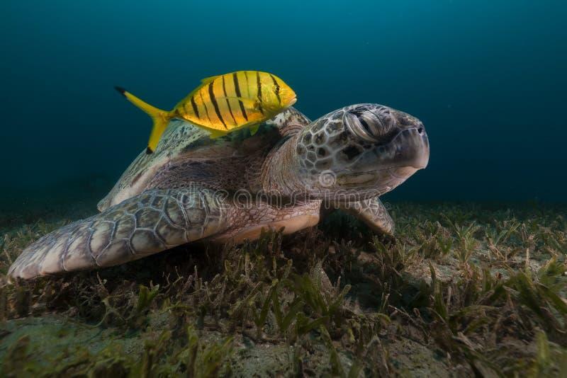 Зеленая черепаха (midas chelonia) и trevally в Красном Море. стоковое изображение rf