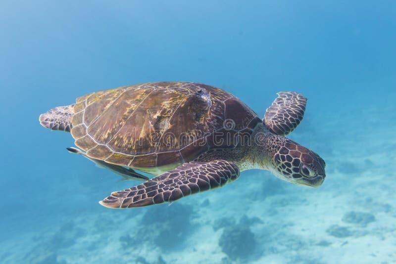 Зеленая черепаха (mydas Chelonia) на острове Similan, Таиланде стоковые фотографии rf