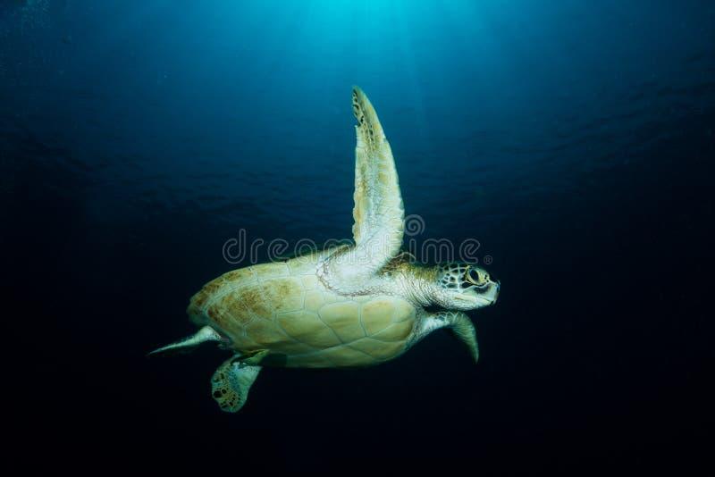 Зеленая черепаха - mydas Chelonia стоковые изображения rf