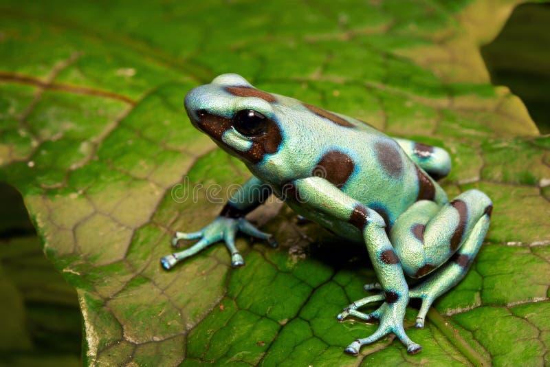 Зеленая лягушка стрелки отравы стоковое фото