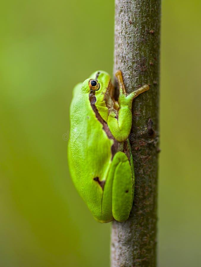 Download Зеленая лягушка стоковое изображение. изображение насчитывающей количества - 40576237