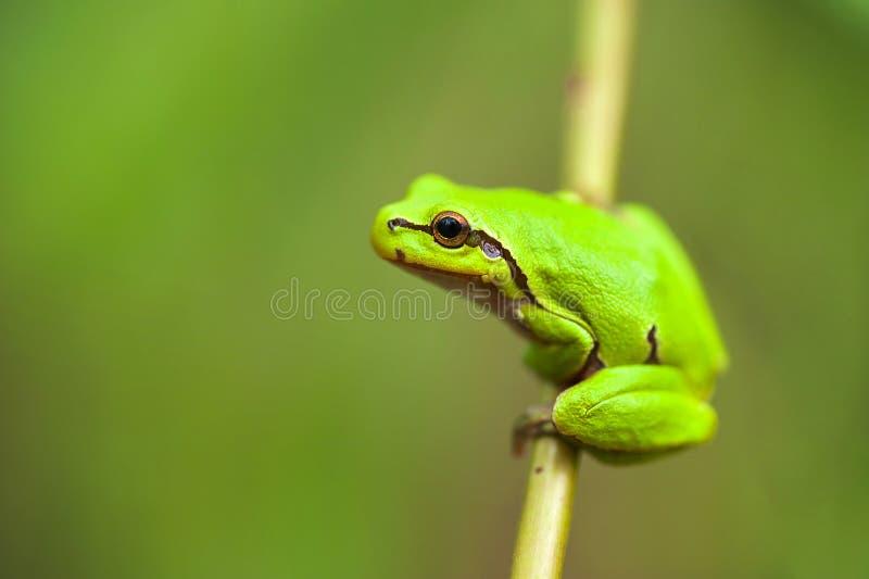 Download Зеленая лягушка стоковое изображение. изображение насчитывающей гад - 40576239