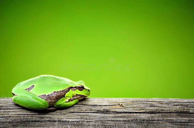 Зеленая лягушка стоковые фотографии rf