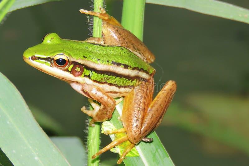 Зеленая лягушка стоковая фотография