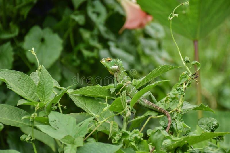 Зеленая ящерица леса стоковое фото rf
