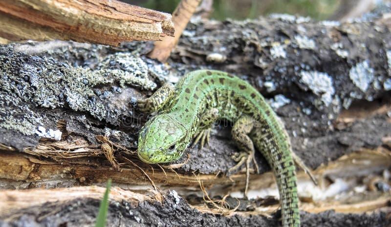 Зеленая ящерица стоковая фотография