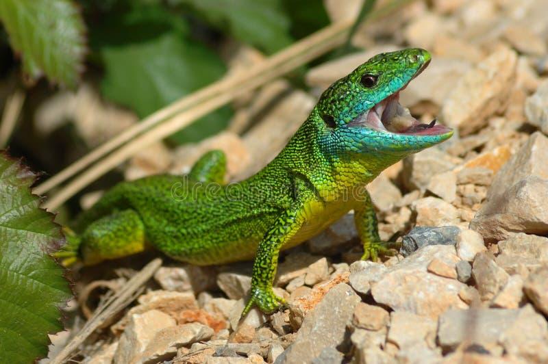 Зеленая ящерица (bilineata ящерицы) стоковые изображения rf