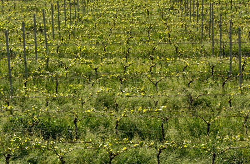 Зеленое время ландшафта виноградника весной стоковое фото rf
