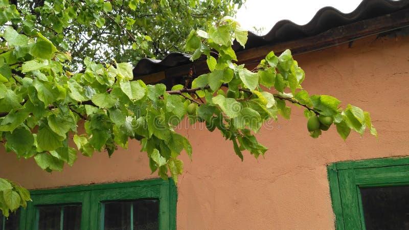 Зеленое дерево абрикоса стоковые изображения rf