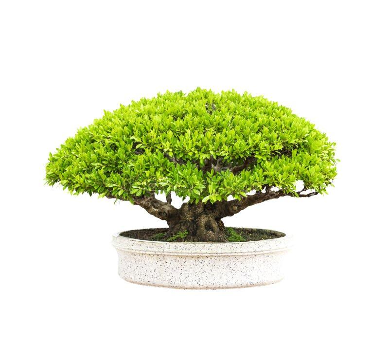 Зеленое дерево в в горшке стоковые фотографии rf