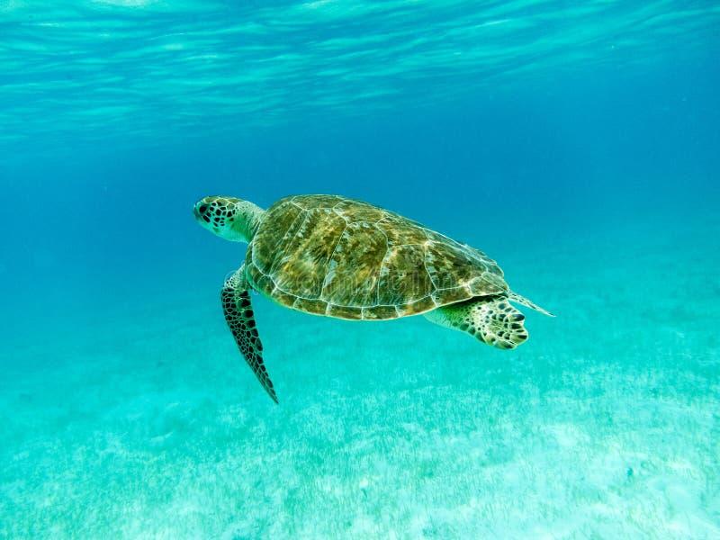 Зеленое заплывание морской черепахи (mydas Chelonia) стоковое изображение