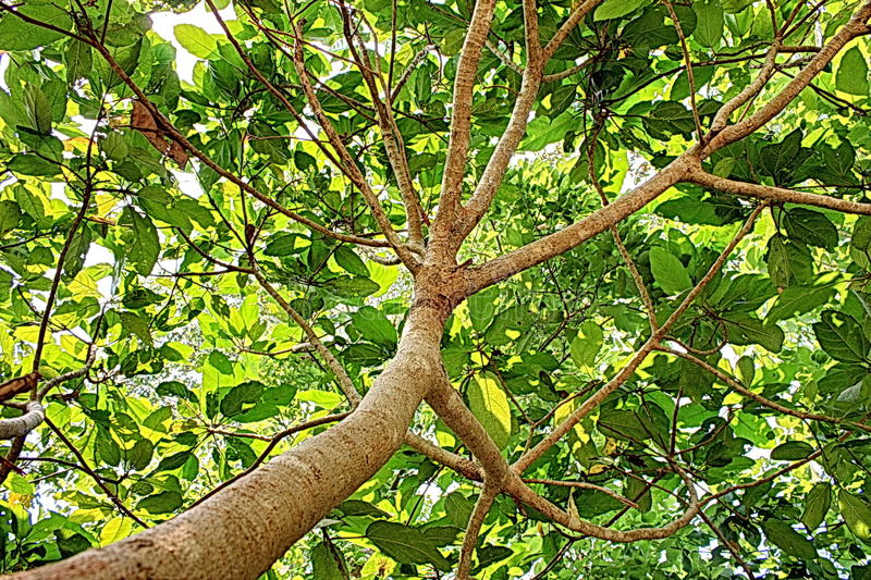 Зеленое искусство шипучки Азии природы дерева стоковое фото