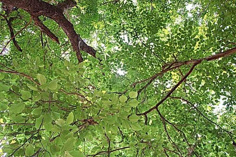Зеленое искусство шипучки Азии природы дерева стоковая фотография rf