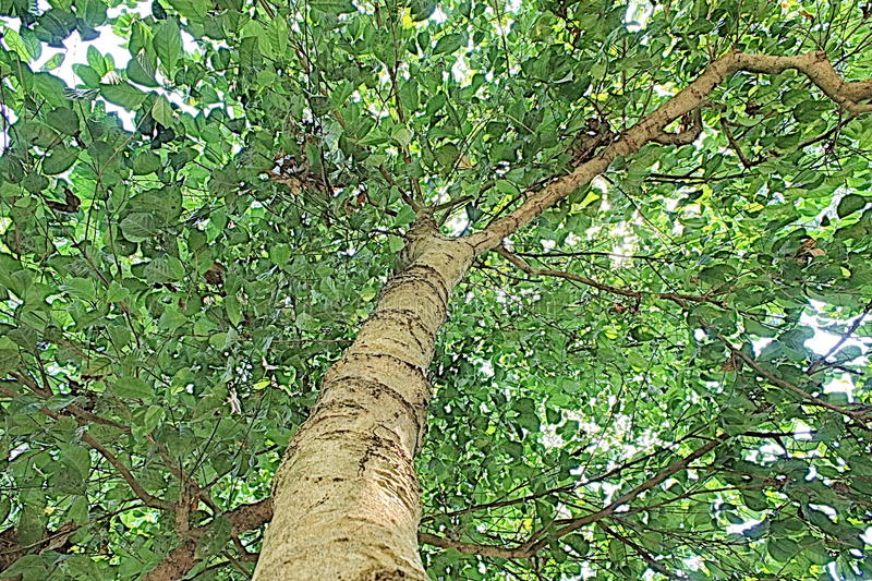 Зеленое искусство шипучки Азии природы дерева стоковое изображение