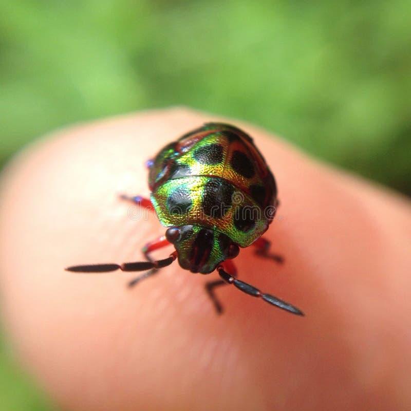 Зеленое крошечное насекомое стоковые фотографии rf
