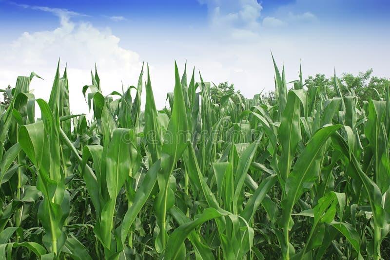 Зеленое кукурузное поле стоковое изображение rf