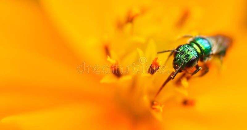 Зеленое насекомое на цветке yelow стоковые изображения