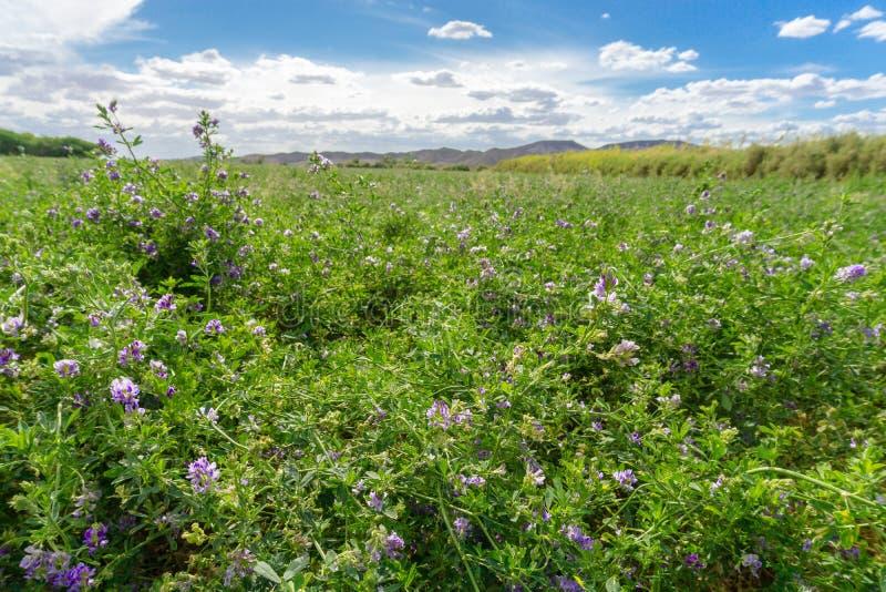 Зеленое поле альфальфы под голубым небом стоковое фото rf