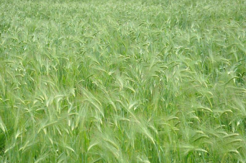 Зеленое поле овсов стоковое фото