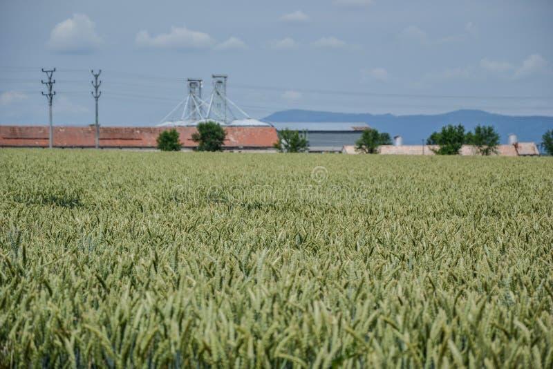 Зеленое поле пшеницы (Triticum) на голубом небе в лете Закройте вверх незрелых ушей пшеницы Поле около силосохранилищ, аграрное s стоковые изображения rf