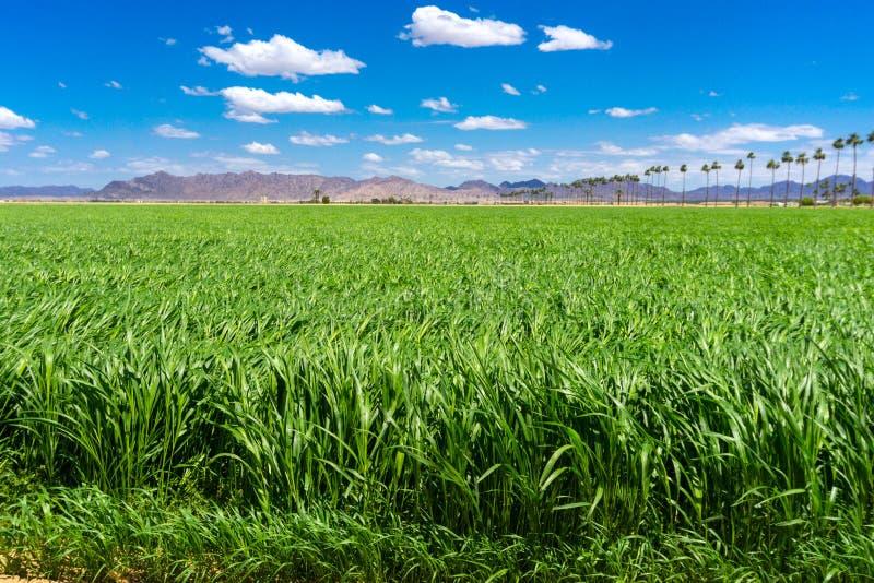 Зеленое поле Судана под голубым небом стоковые фото